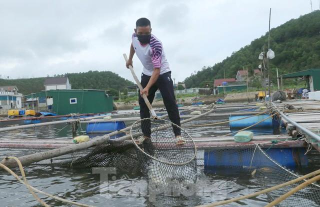 Hàng trăm tấn cá nuôi lồng bè tại Cửa Lò không có người thu mua vì dịch - Ảnh 4.