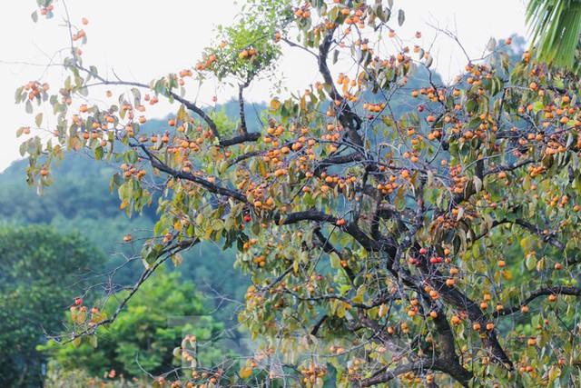 Vựa hồng lớn nhất Nghệ An vào mùa thu hoạch - Ảnh 1.