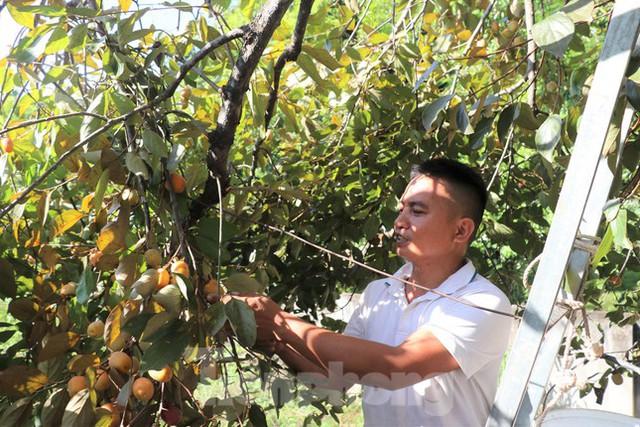 Vựa hồng lớn nhất Nghệ An vào mùa thu hoạch - Ảnh 2.