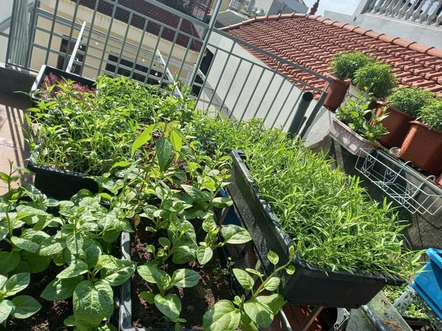 Khoảng sân thượng chỉ 15m² nhưng đủ các loại rau xanh tốt tươi không lo thiếu thực phẩm mùa dịch ở Hà Nội - Ảnh 17.
