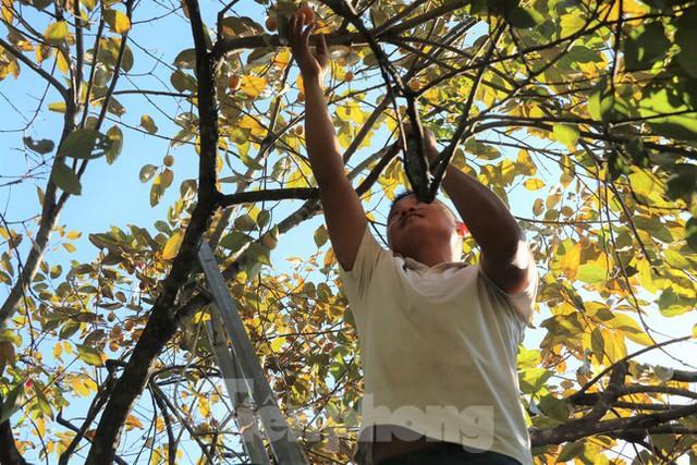 Vựa hồng lớn nhất Nghệ An vào mùa thu hoạch - Ảnh 3.