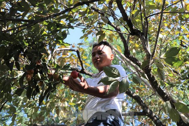Vựa hồng lớn nhất Nghệ An vào mùa thu hoạch - Ảnh 4.