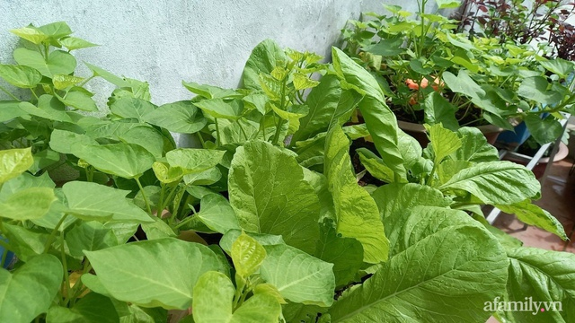 Khoảng sân thượng chỉ 15m² nhưng đủ các loại rau xanh tốt tươi không lo thiếu thực phẩm mùa dịch ở Hà Nội - Ảnh 10.