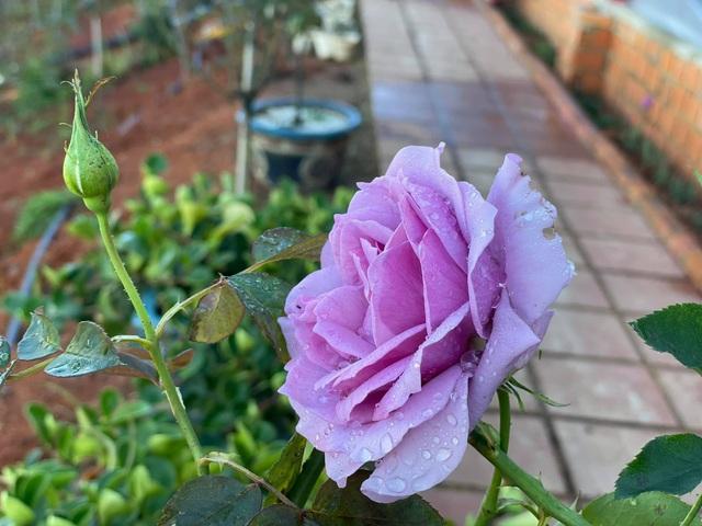 Bỏ việc công sở, chàng trai 8X xây nhà gỗ, trồng hồng, làm farmstay đẹp như mơ ở Đà Lạt - Ảnh 6.