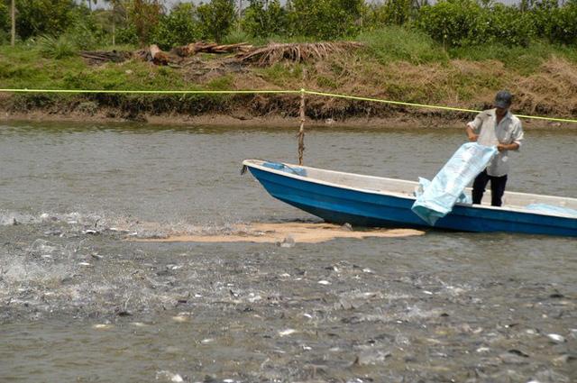 Ngành cá tra đối diện nguy cơ thiếu nguyên liệu kéo dài - Ảnh 1.