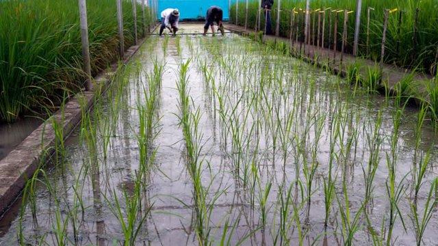 """Được sản xuất để tăng nguồn cung, gạo vàng lại làm dấy lên những cuộc tranh tranh cãi, nông dân kêu than vùng đất của họ sẽ bị """"đầu độc"""" - Ảnh 1."""