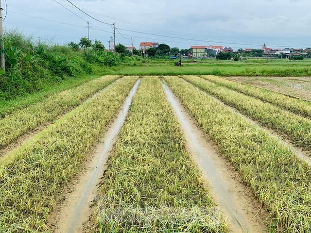Xót xa hàng nghìn ha rau ở Nghệ An chết rũ ngoài đồng  - Ảnh 1.