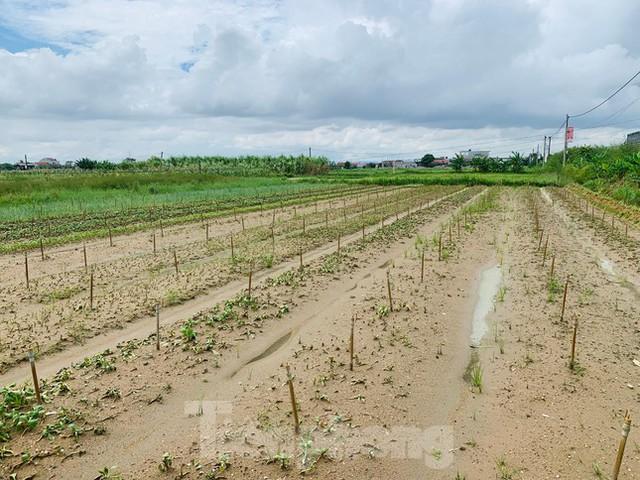Xót xa hàng nghìn ha rau ở Nghệ An chết rũ ngoài đồng  - Ảnh 4.