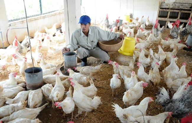 """""""Ngành chăn nuôi đừng để thua trên sân nhà như vụ đùi gà Mỹ"""""""