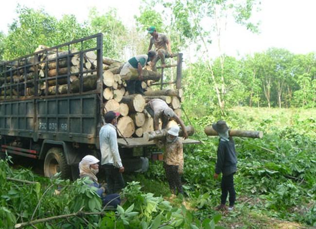 Nông dân chặt cao su trồng điều