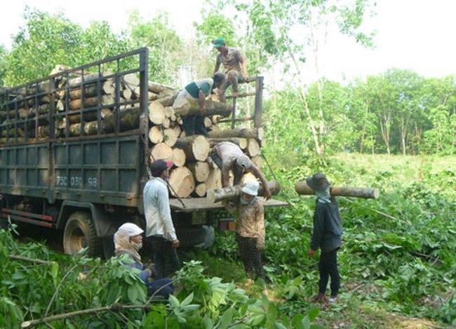 Hơn 6.000 ha cao su bị chặt bỏ