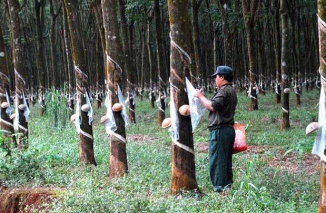Cao su Tây Ninh (TRC): 9 tháng hoàn thành 77,2% kế hoạch năm