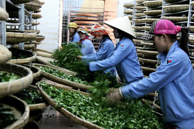 Giá chè Việt Nam rẻ nhất thế giới, xuất khẩu ngày càng giảm