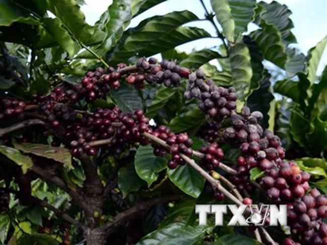 Nông dân Bà Rịa-Vũng Tàu đua nhau chặt cà phê để trồng hồ tiêu
