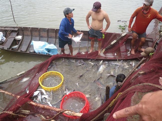 Giá cá tra tăng vọt, người nuôi phấn khởi