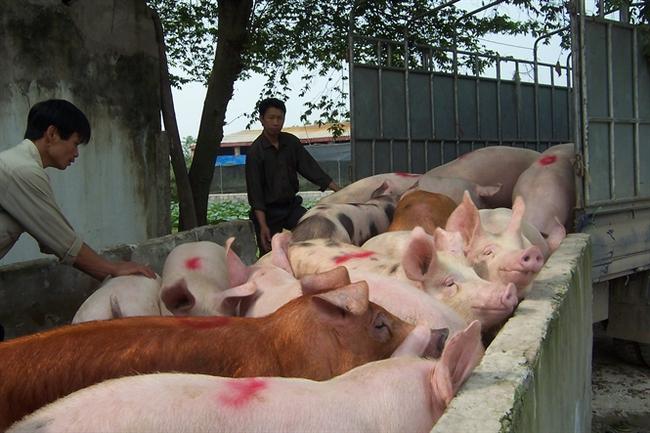 500 tấn lợn xuất qua các cửa khẩu Quảng Ninh mỗi ngày