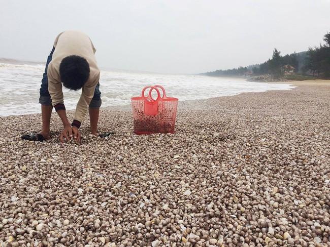 Hà Tĩnh: Sò lông biển dạt kín bờ, trắng xoá
