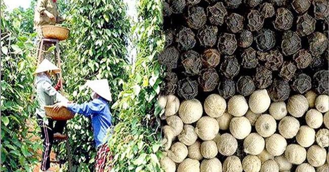 Thế giới công nhận hạt tiêu Việt Nam là số 1