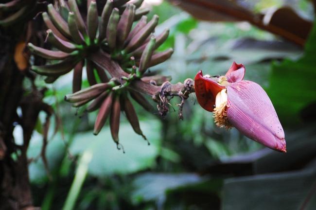 Khoa học chứng minh: Không chỉ quả, hoa chuối cũng có lợi cho sức khỏe