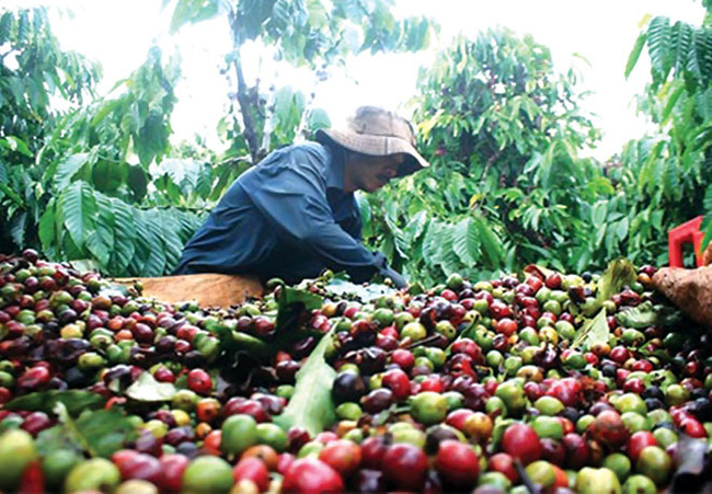 Cơ cấu cây cà phê: Việc nên làm