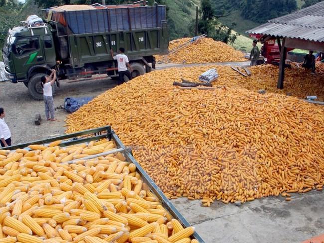Việt Nam tạm ngừng nhập khẩu bột bã ngô từ Hoa Kỳ