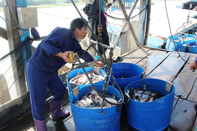 Giá cá tra tăng cao - người nuôi vẫn không thể vui