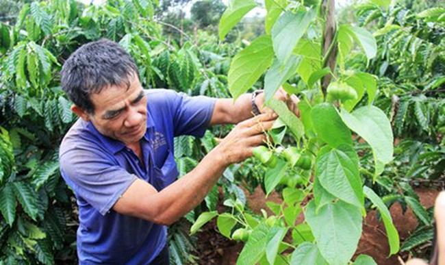 Mạo hiểm phá cà phê vì cây 'tin đồn'