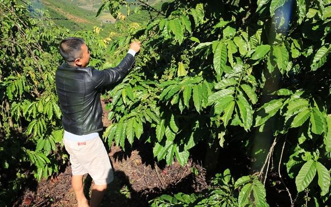 Giá cà phê nhân xô ở Tây Nguyên đã trở lại mốc 40.000 đ/kg