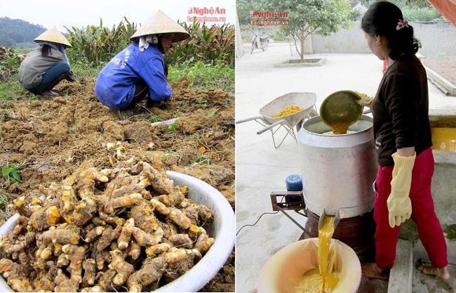 Làng trồng nghệ và chế biến tinh bột cho thu nhập 700 triệu/ha