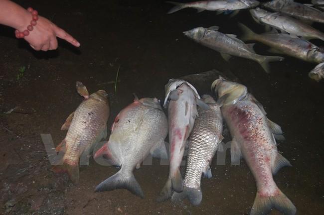 Cá chết dạt vào bờ dài cả cây số ở hồ Linh Đàm