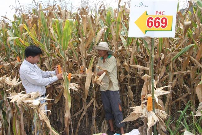 Nông dân Đồng Nai phấn khởi vì bắp được mùa, giá cả cũng tạm ổn