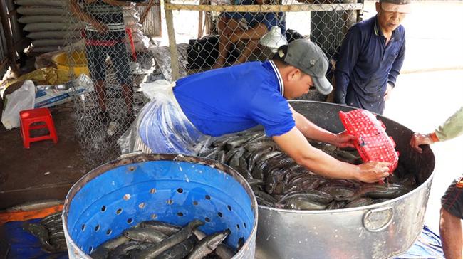 Giá cá lóc tăng mạnh, người nuôi bỏ túi hàng trăm triệu