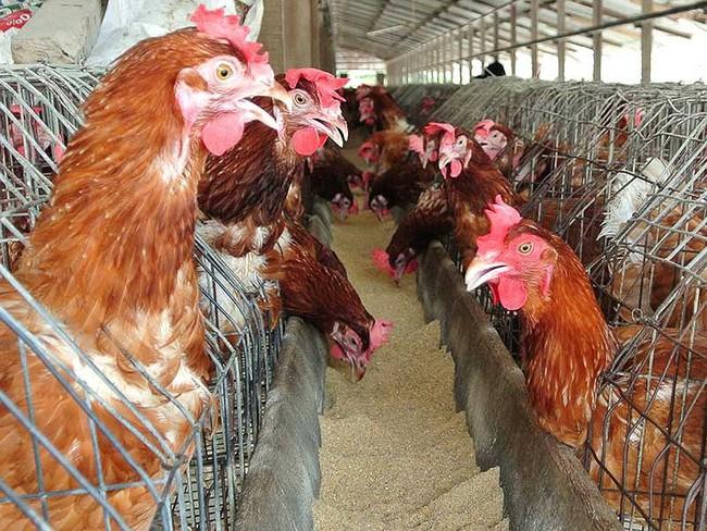Trại gà không xuất khẩu được vì nằm gần… trại vịt