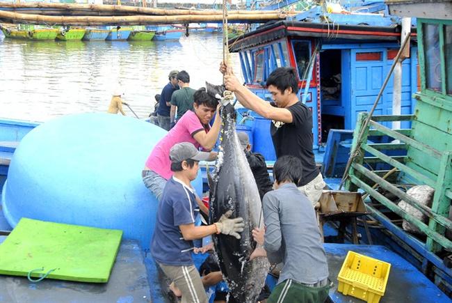 Ngư dân Bình Định bội thu cá ngừ đại dương
