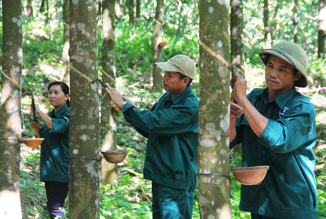 Cao su Tây Ninh (TRC): 6 tháng lãi 71 tỷ đồng, hoàn thành 60% kế hoạch năm