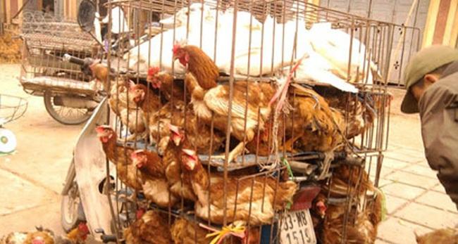Mạnh tay chặn gà lậu từ Trung Quốc