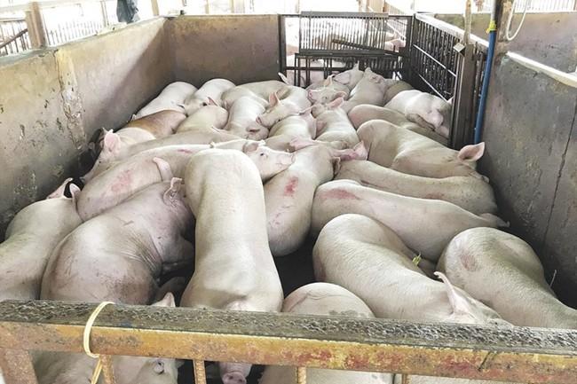 Trộn hoá chất trong thức ăn chăn nuôi: Làm ăn gian dối, coi thường sức khoẻ người tiêu dùng