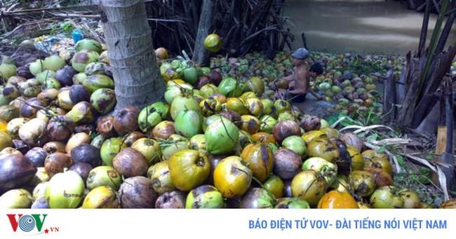 Dừa khô Bến Tre khan hàng giá tăng cao kỷ lục