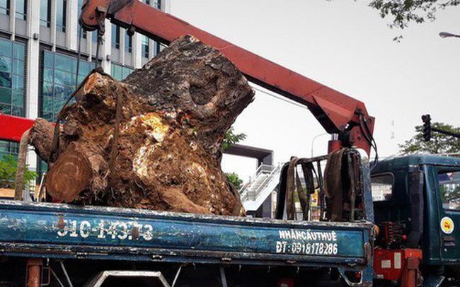 """""""Đường đi"""" của các loại cây xanh bị đốn hạ ở TP HCM"""
