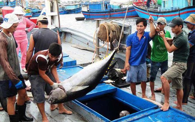 Nhật Bản tiếp tục giảm nhập khẩu cá ngừ tươi và đông lạnh