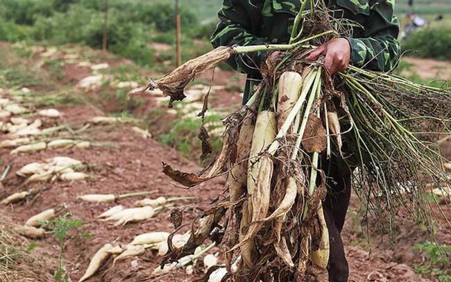 """Hà Nội: Tìm cách """"giải cứu"""" 3.000 tấn củ cải"""