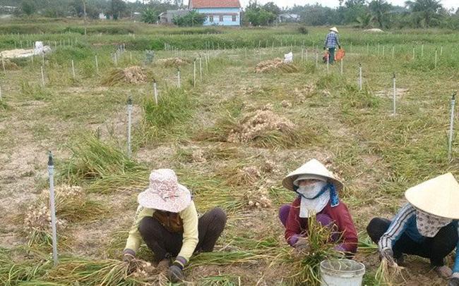 Tỏi Khánh Hòa được mùa, mất giá