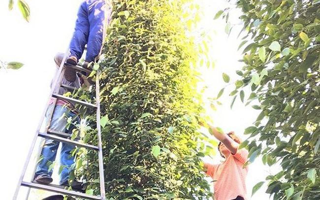 Người trồng cà phê, trồng tiêu lại 'khóc ròng'
