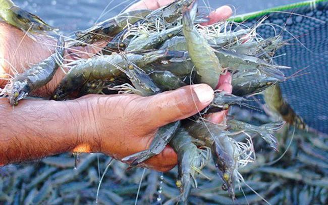 """Cần chấm dứt tình trạng nuôi tôm biển trong vùng """"ngọt hóa"""""""