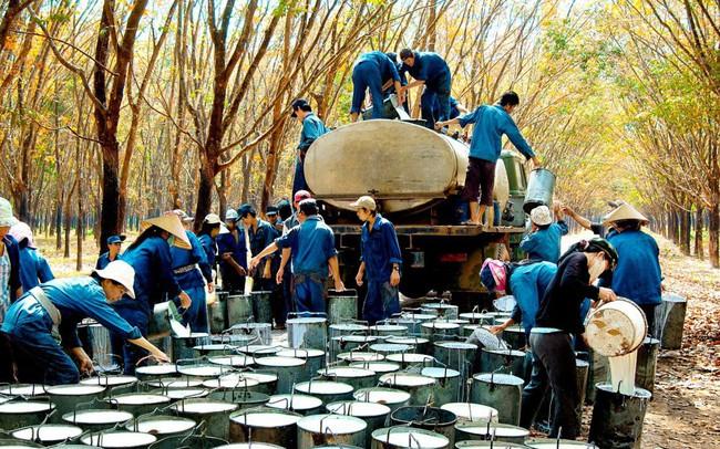 Top 3 toàn cầu và 'cuộc chiến' của cao su Việt Nam