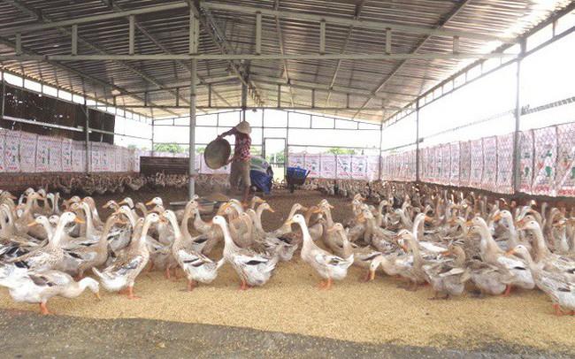 Đề xuất chỉ sử dụng tối đa 2 loại kháng sinh (được phép) trong 1 sản phẩm thức ăn chăn nuôi