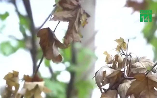 Hà Nội: Cây phong lá đỏ héo rũ sau đợt nắng nóng kéo dài