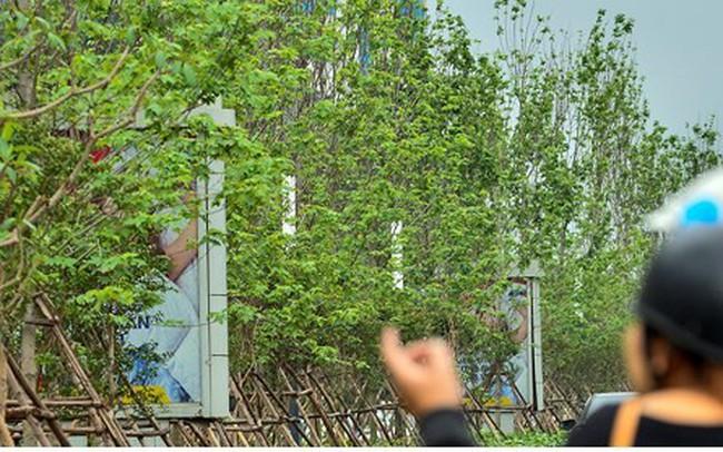 Video: Cây phong xứ lạnh ra sao trong chảo lửa Hà Nội?