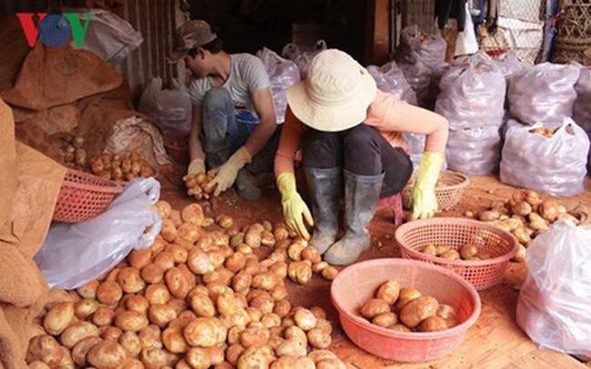 Chi hơn 1 tỷ đồng chống mạo danh thương hiệu khoai tây Đà Lạt