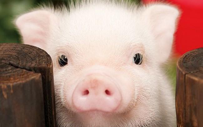 Kết quả hình ảnh cho bệnh liên cầu khuẩn ở lợn
